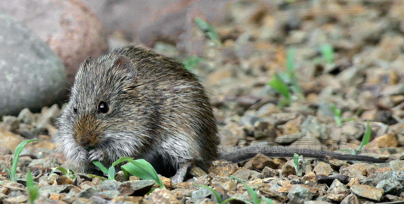 Vole, Long-tailed 2018.7.22#055. A little know rodent that lives from Alaska south to Arizona. It's life habits are similar to all other voles feeding on grass & plants, living mostly above ground and remaining active through most of the winter. Prescott Valley, Yavapai County Arizona.