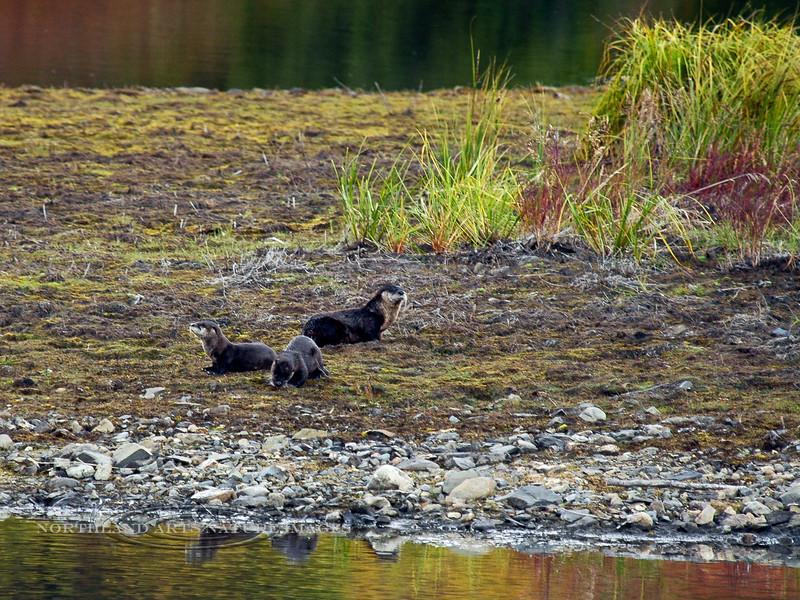 Otter, Land 2006.9.2#0226. Near Wonder Lake, Denali Park Alaska.