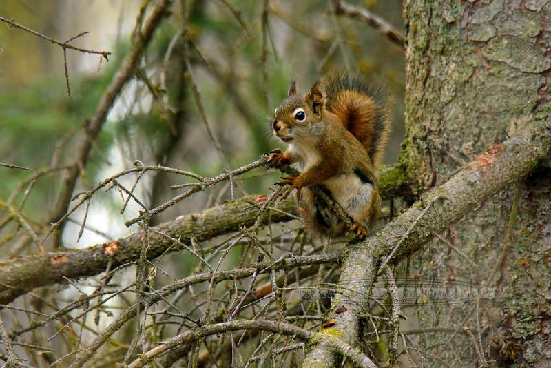 Squirrel, Red 2015.5.7#311. Kincaid Park, Anchorage Alaska.