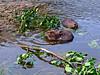 Beaver 2015.7.4#171. Horseshoe Lake, Denali Park Alaska.