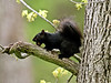 Squirrel, Eastern Gray 2012.5.6#085. A typical black phase. Beaver Run, Bridgeton Township, Pennsylvania.