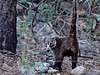 Coatimundi, White-nosed. Chiricahua Mountains Arizona. #106.013.