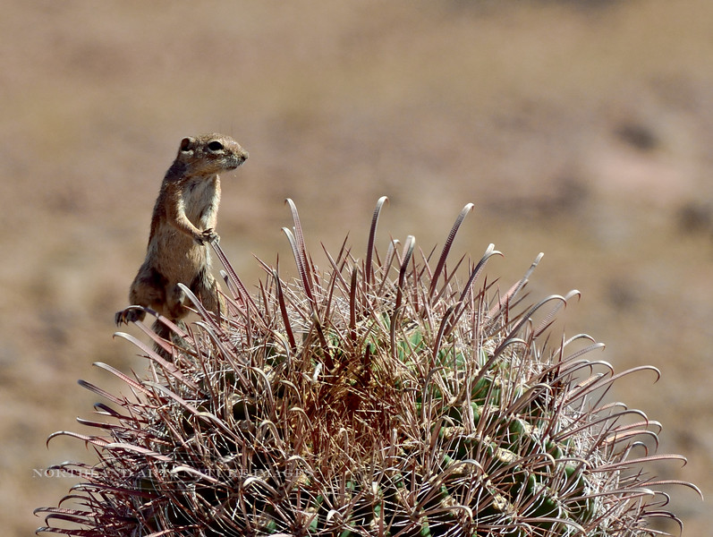 Squirrel, Antelope, Harris's 2018.5.15#095. Perched on the spines of a Ferrocactus. Picacho Peak, Pima County Arizona.