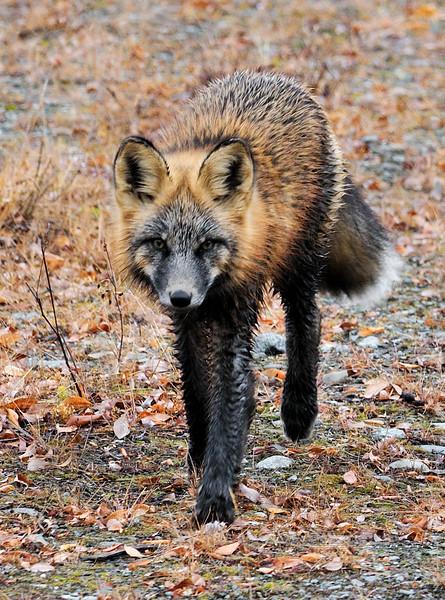"Fox, Red 2011.10.4#022. A nice dark ""Cross phase"" Red Fox. Nelchina Basin Alaska."