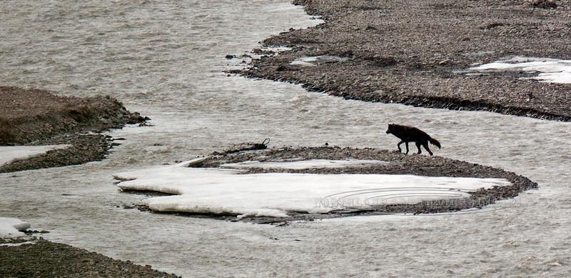 Wolf, Gray 2011.5.29#284. A member of the East Fork pack patrolling the Teklanika River. Denali Park Alaska.