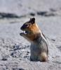 Squirrel, Golden-mantled Ground 2021.6.19#4656.3. Rim of Crater Lake Oregon.