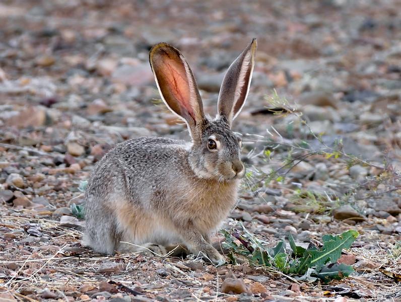 Jackrabbit, Black-tailed 2018.6.1#045. Near Prescott Valley, Yavapai County Arizona.