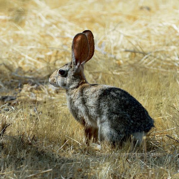 Rabbit, Desert Cottontail 2017.6.11#078. Hassayampa, Maricopa County Arizona.