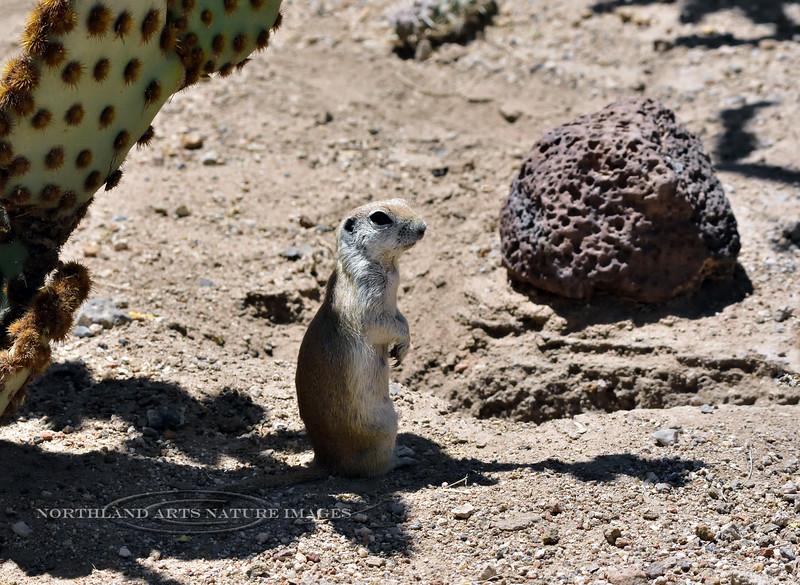 Squirrel, Ground, Round tailed 2018.4.20#135.3. San Xavier Mission, Arizona.