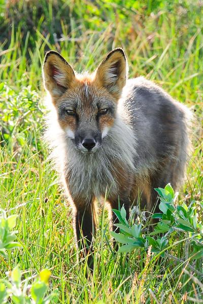 Fox, Red 2012.7.12#043. Coastal plain of the north slope, Alaska.