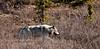 Wolf, Gray 2007.5.20#0434. Patrols it's territory. Mile 12, Denali Park Alaska.