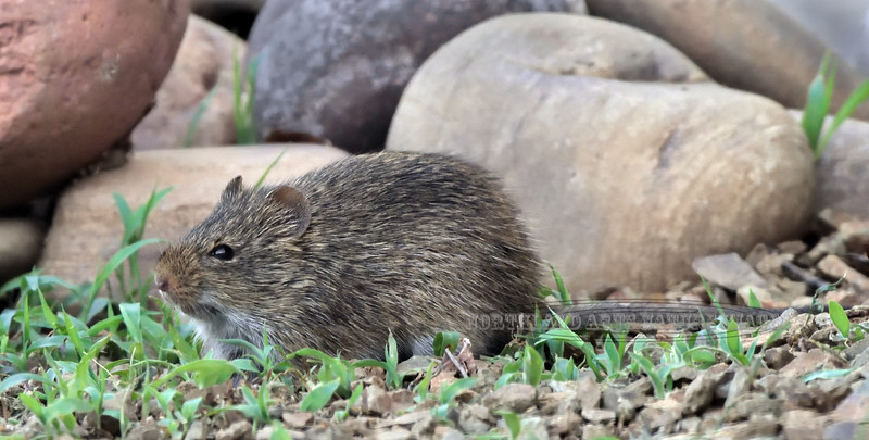 Vole, Long-tailed. Yavapai County Arizona. #722.029. See the previous image for more info.
