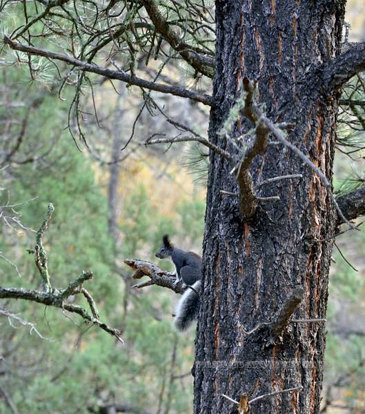 Squirrel, Abert's 2019.11.9#938. Gila Wilderness, New Mexico.