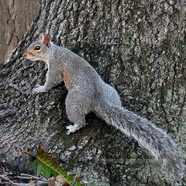 Squirrel, Eastern Gray 2008.4.16#1135. Near Ringing Rocks, Bucks County Pennsylvania.