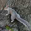 Squirrel, Eastern Gray 2008.4.16#1135. Near Ringing Rocks, Bucks County Pennsylvania.