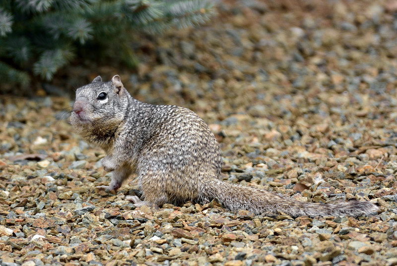 Squirrel, Ground, Rock 2018.3.10#2040. Spermophilus variegatus. Prescott Valley, Yavapai County Arizona.