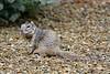 Squirrel, Rock Ground. Yavapai County, Arizona. #310.2040.