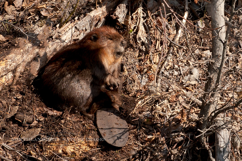 Beaver 2009.5.1#050. Spending time in the open after being icebound in it's bank den all winter. Potter Mars, near Anchorage Alaska.