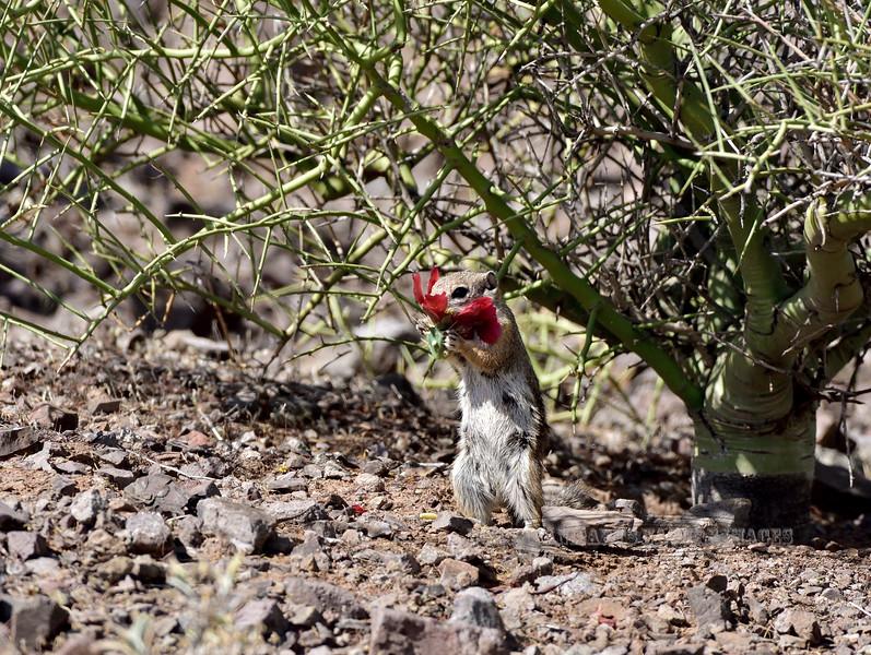 Squirrel, Antelope, Harris's 2018.4.20#009. Feeding on  the inner flower parts of a Cane Cholla blossum. Picacho Peak, Pima County Arizona.