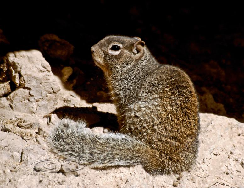 Squirrel, Ground, Rock 2007.3.1#010. Spermophilus variegatus. Montezuma's Castle, Beaver Creek Arizona.