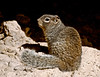 Squirrel, Ground, Rock 2007.3.1#010. Spermophilus variegatus. Montezuma's Castle, Beaver Creek Arizona.