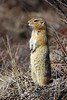 Squirrel, Ground, Arctic 2006.5.13#0492. Savage Canyon, Denali Park Alaska.