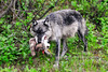 Wolf, Gray 2008.6.29#060. An unfortunate reality of life in the natural world. A Gray Wolf kills an adult Lynx protecting her two juveniles.  Tattler Creek, Denali Park Alaska.