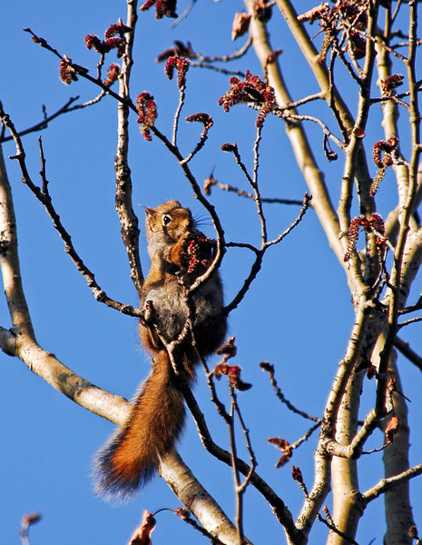 Squirrel, Red. Forages on Poplar catkins at Riley Creek Campground in Denali Nat.Park, Alaska. #513.0141b.