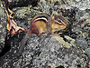 Chipmunk, Eastern. Bucks Co.,PA. #55.226b.