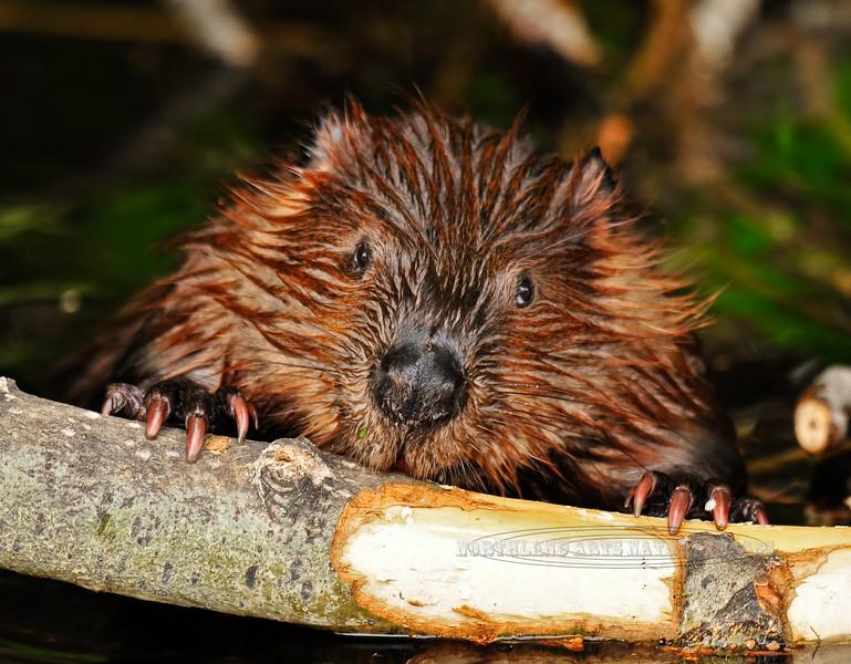 Beaver. Near Anchorage,AK. #61.111.