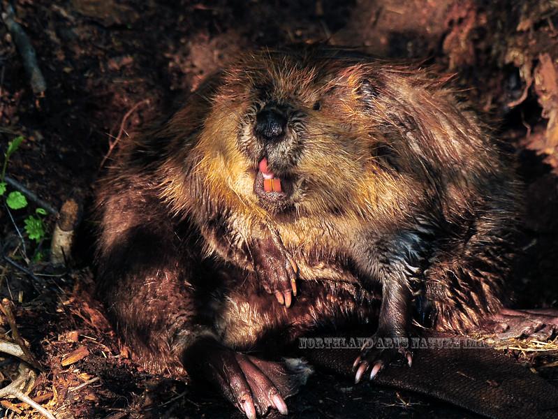 Beaver 2009.6.6#207. Potter Marsh, South of Anchorage Alaska.