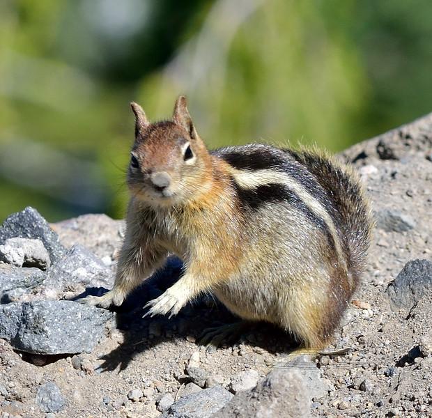 Squirrel, Golden-mantled Ground 2021.6.19#4639.3. Rim of Crater Lake Oregon.