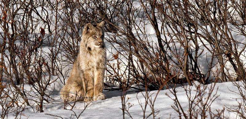 Lynx, Canadian 2009.4.28#223. Mile 17, Denali Park Alaska.