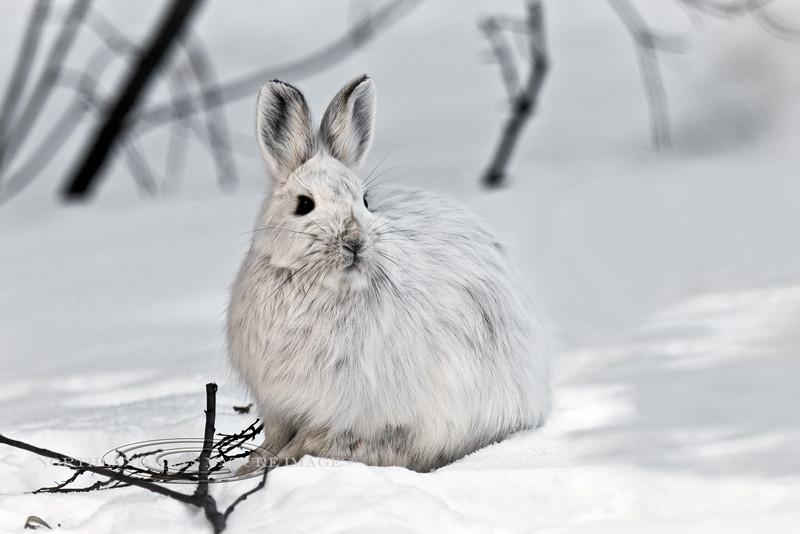 Hare, Snowshoe. Alaska Range, Alaska. #413.050. 2x3 ratio format.