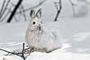 Hare, Snowshoe 2011.4.13#050. Mile 12.5, Denali Park Alaska.