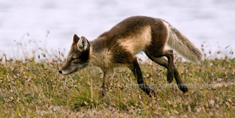 Fox, Arctic 2007.8.3#264. Shore of Arctic Ocean, Coastal Plain of the North Slope, Alaska.