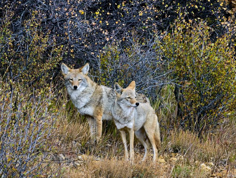 Coyote 2017.10.9#942. Mesa Verde Colorado.