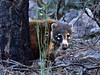 Coatimundi, White-nosed. Chiricahua mountains Arizona. #116.017.