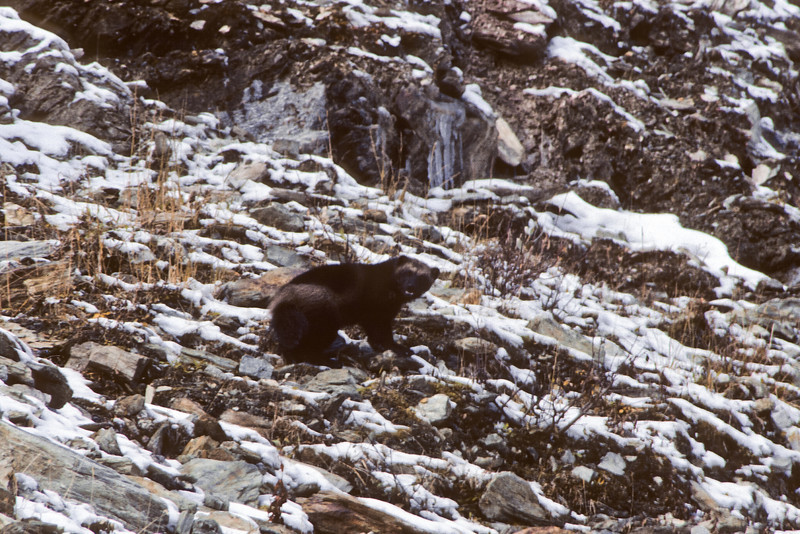 Wolverine 1983.9. Not a great image here,but one of the few encounters I been fortunate to have with this animal that is constantly on the move over a great range of area. A scan from old film stock. Savage Canyon west side, Denali Park Alaska.
