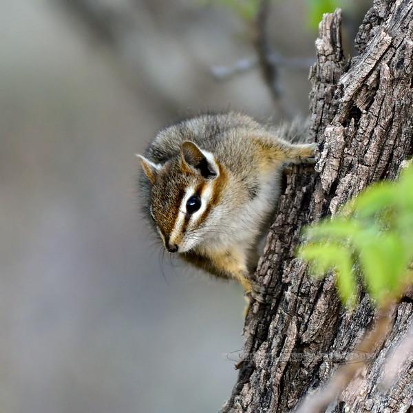 Chipmunk, Arizona Cliff species 2018.4.29#050. North side Mingus Mtn, Yavapai County, Arizona.