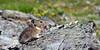 Pika, Collared 2013.6.29#057. Mount Healy's northeast side. Denali Park Alaska.
