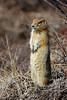 Squirrel, Ground, Arctic 2006.5.13#0491. Savage Canyon, Denali Park Alaska.