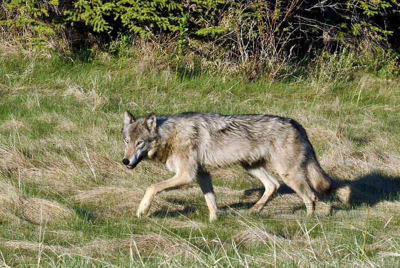 Wolf, Gray 2015.5.21#1854. Near Brule Lake, Yellowhead highway, Alberta Canada.
