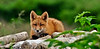 A juvenile Red Fox rests on a  pile of drift wood McNeil River Bear Camp. Alaska Peninsula,Alaska.  #811,330. 1x2 ratio.