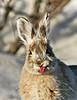 Hare, Snowshoe 2006.5.13#035. mile 12, Denali Park Alaska.
