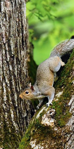 Squirrel, Eastern Gray 2012.5.3#108. In a tall White Oak. Bucks County Pennsylvania.