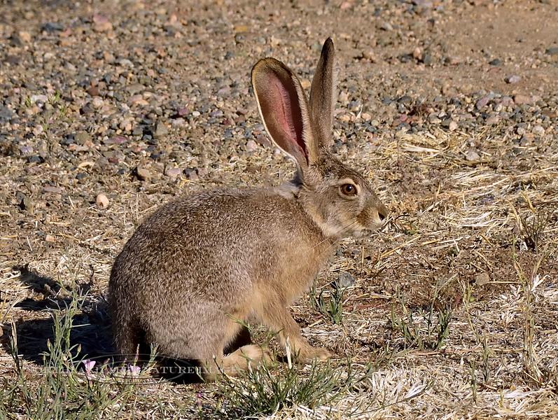 Jackrabbit, Black-tailed 2018.6.1#024. Near Prescott Valley, Yavapai County Arizona.