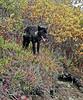 Wolf, Gray 2006.9.2#0356.7. Thoro Pass, Denali Park Alaska.