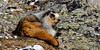 Marmot, Hoary 2009.5.16#062. Savage Canyon, Denali Park Alaska.