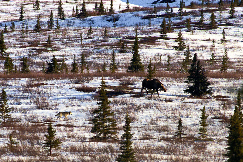 Gray Wolf & Moose. I watched this wolf try to push the moose into another wolf waiting ahead. It was unsuccessful after several attempts. The moose eventually drove the wolves off. Alaska Range,Alaska. 2x3 ratio format. Scanned from old film stock. #530.89.